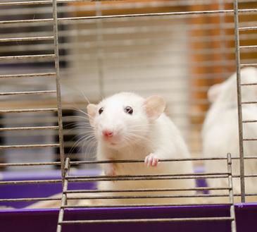 лабораторная мышь для исследований