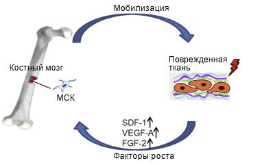 мобилизация стволовых клеток
